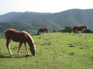 Horses graze atop the seaside cliffs of the Kuniga Coastline on Nishinoshima, in the Oki Islands.