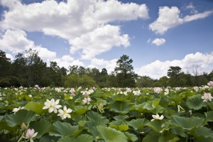 9/26: Volunteer Event @ Kenilworth Aquatic Gardens