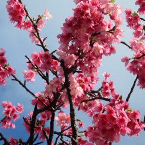 Life on JET: 1997-2006  Amy Sherman Okinawa 2006-2008  Japan's earlier cherry blossoms blooming in Motobu, Okinawa.