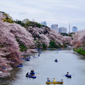 Life on JET: 2007-2016  Melinda Marquardt Chiba 2014-2017  This was my first spring in Japan at Korakuen in Tokyo. It was so crowded, but with the petals falling all around, it was worth it